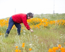 The California poppie, seen around UC Merced, is the state's flower and is drought tolerant.